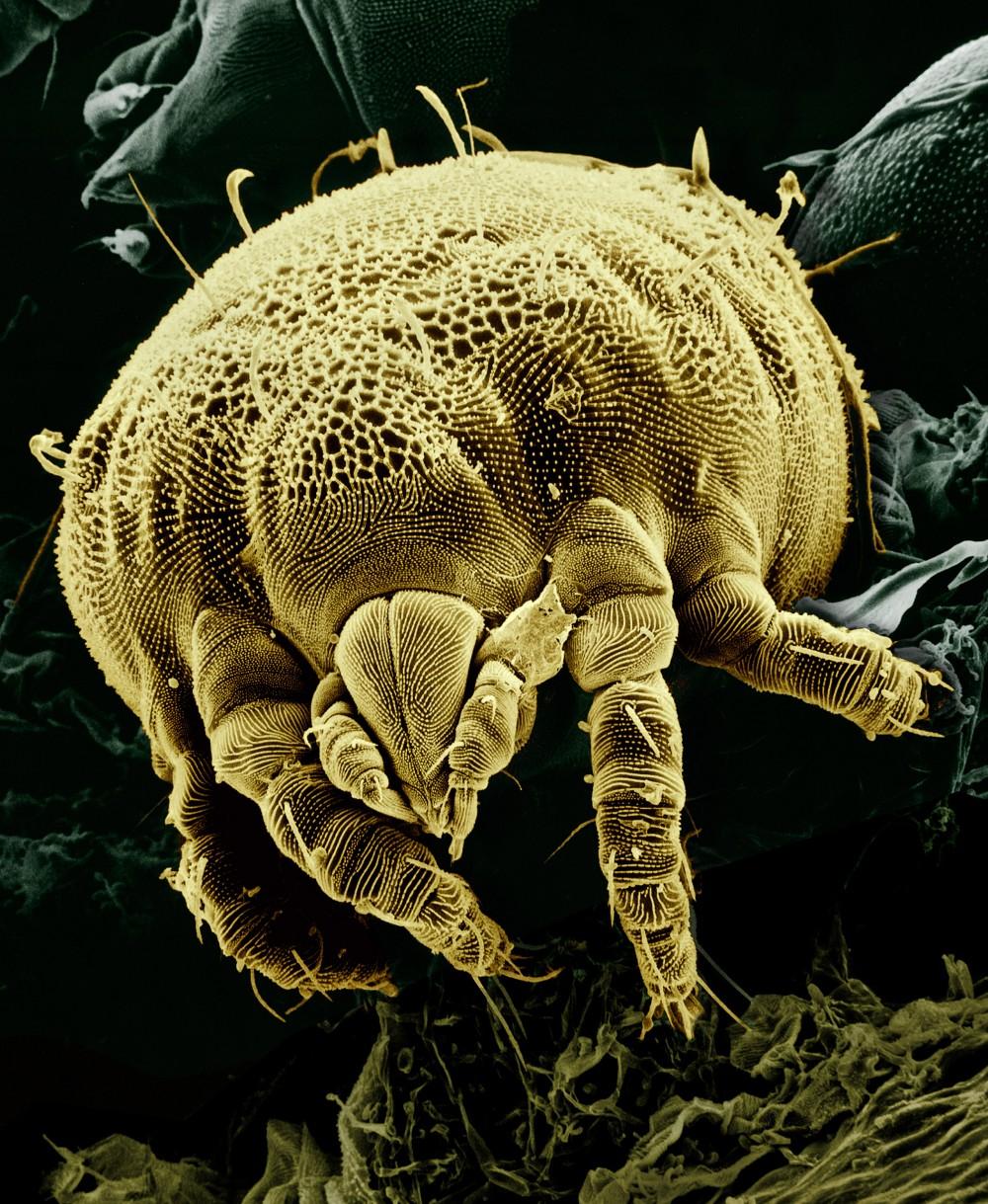 yellow-mite